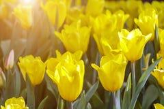 Piękny tulipanowy kwiatu, zieleń liścia tło w ogródzie przy dniem i Zdjęcia Stock