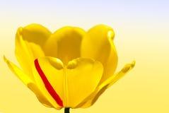 Piękny tulipanu zakończenie Obraz Stock