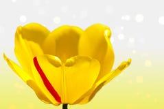 Piękny tulipanu zakończenie Fotografia Royalty Free