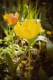 Piękny tulipanu zakończenie Zdjęcia Stock
