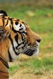 Piękny tygrys głowy zbliżenie Obrazy Royalty Free