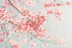 Piękny wiśni menchii kwiat w wiośnie Obraz Stock