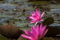 Piękny wibrujący wodnej lelui kwiatu okwitnięcie nad jeziorem zdjęcie royalty free