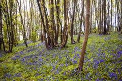 Piękny widok Angielski las z Angielskimi bluebells obraz royalty free