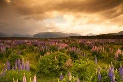 Piękny widok kwiatu ogród, Południowa wyspa, Nowa Zelandia Fotografia Royalty Free