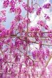 Piękny widok Wielki purpur menchii żałości okwitnięcia drzewo, Ashikaga, Tochigi, Japonia zdjęcia royalty free