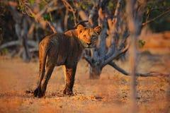 Piękny wieczór z lwem w Afryka Afrykański lew, Panthera Leo, szczegółu duży zwierzę portret, evening słońce, Chobe park narodowy Zdjęcia Royalty Free