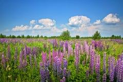 Piękny wiejski krajobraz z purpurami kwitnie na dzikiej łące Zdjęcia Stock