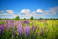 Piękny wiejski krajobraz z purpurami kwitnie na dzikiej łące Fotografia Royalty Free