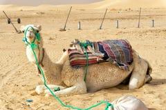 Pi?kny wielb??d w Ong Jemel pustyni w Tunezja zdjęcia royalty free