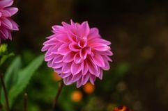 Piękny wielki dalii menchii zakończenie na naturalnym tle fotografia stock