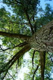 Piękny wielki drzewo fotografujący spod spodu zdjęcia stock