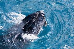 Piękny wieloryb Fotografia Stock