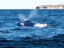 Piękny wieloryb wtyka swój głowę z zimnego nawadnia Puerto Madryn, Argentyna Obrazy Royalty Free