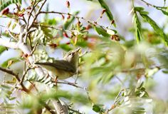 Piękny Wierzbowy Warbler Fotografia Stock
