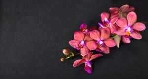 Piękny wierzchołka puszka zdroju pojęcie gałązka czerwony storczykowy kwiat, phalae obrazy royalty free