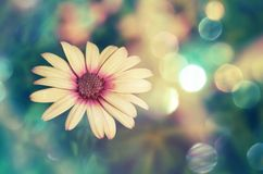 Piękny wight stokrotki kwiat na tła bokeh Fotografia Royalty Free