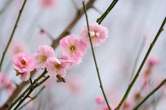 Piękny wintersweet Fotografia Stock