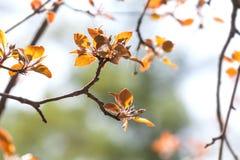 Piękny wiosna czasu kwiecisty tło Malus jabłoni gałąź z czerwonymi liśćmi Miękki ostrość ogródu krajobraz Obraz Royalty Free