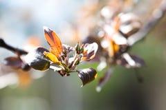 Piękny wiosna czasu kwiecisty tło Malus jabłoni gałąź z czerwonymi liśćmi Miękki ostrość ogródu krajobraz Zdjęcia Royalty Free