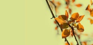 Piękny wiosna czasu kwiecisty tło Malus jabłoni gałąź z czerwonymi liśćmi Miękki ostrość ogródu krajobraz Zdjęcie Royalty Free