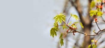 Piękny wiosna czasu kwiecisty tło z czerwonego klonu gałąź Płytka głębia pole, jaskrawa kolor fotografia obrazy stock