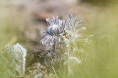 Piękny wiosna fiołek kwitnie tło Wschodni pasqueflower obraz stock