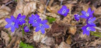 Piękny wiosna kwiat, hepatica Anemonowy hepatica bukowa lasowa hepatica nobilis Poland wiosna bra? zdjęcia royalty free
