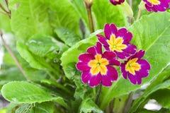 Pi?kny wiosna pierwiosnki kwitnie z zielonymi li??mi pod ?wiat?em s?onecznym w ogr?dzie przy wiosny lub lata sezonem poj?cia odos obraz stock