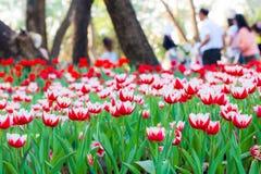 Piękny wiosna tulipan kwitnie z rozmytymi ludźmi tło fotografia stock