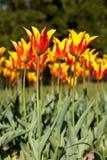 Piękny wiosny tło z żółtymi i czerwonymi kwiecenie fajerwerku tulipanami Obrazy Royalty Free