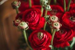 Piękny wiosny zieleni i czerwieni jaskieru ranunculus bukiet kwiaty na drewnianej tło miękkiej części makro- Zdjęcie Royalty Free