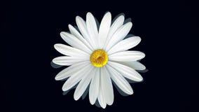 Piękny, wirujący, abstrakcjonistyczny chamomile kwiatu chodzenia dno w górę, odizolowywający na czarnym tle Przędzalniana biała s zdjęcie wideo