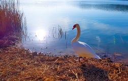 Piękny wizerunek biały łabędź przy zmierzchem na brzeg przed wchodzić do jezioro obraz stock