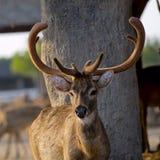 Piękny wizerunek czerwonego rogacza jeleń w lesie obrazy stock