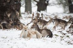 Piękny wizerunek ugorów rogacze w śnieżnym zima krajobrazie Obrazy Stock