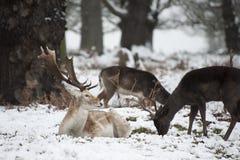 Piękny wizerunek ugorów rogacze w śnieżnym zima krajobrazie Obraz Royalty Free