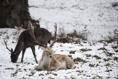 Piękny wizerunek ugorów rogacze w śnieżnym zima krajobrazie Zdjęcie Royalty Free