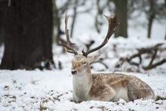 Piękny wizerunek ugorów rogacze w śnieżnym zima krajobrazie Fotografia Stock