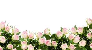 Piękny wzrastał kwiat granicę Obrazy Stock