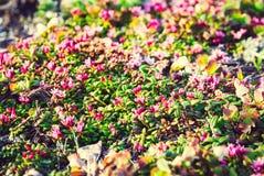 Piękny Wzrastał kwiaty na tle góry, Kamchatka, Zdjęcie Royalty Free
