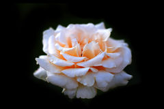 Piękny wzrastał na czarnym tle Obrazy Royalty Free