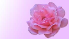 Piękny wzrastał na różowym tle Zdjęcie Royalty Free