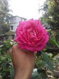 Piękny wzrastał na ręce Fotografia Royalty Free