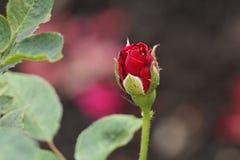 Piękny wzrastał na rozmytym tle w parku obrazy royalty free