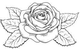 Piękny wzrastał w stylu czarny i biały rytownictwa. Zdjęcie Stock