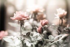 Piękny wzrastał z kroplami w ogródzie Zdjęcia Royalty Free