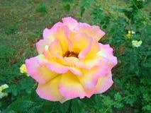 Piękny wzrastał z rosą Zdjęcie Royalty Free