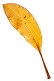 Piękny złoty liść zdjęcie royalty free