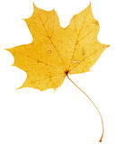 Piękny złoty liść klonowy zdjęcie royalty free